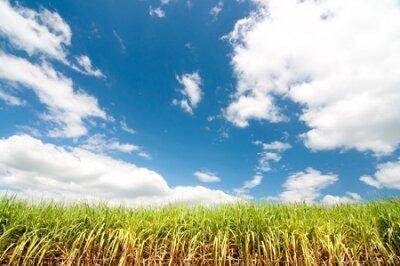 Piękny kukurydzany pole zasadza z ładnym błękitnym pastelowym niebem
