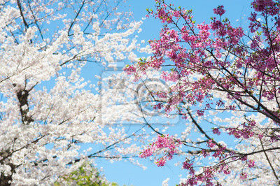 Piękny kwiat wiśni sakura z ładnym niebieskim niebie