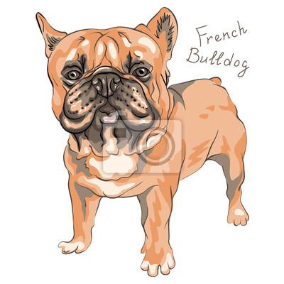 Tapeta Pies Domowy Brązowy Buldoga Francuskiego Rasy Stałego Na