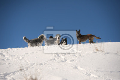 Pies paczka gry na grzbiet: bearded collie, border collie, owczarek belgijski, Pumi. Pięć psów uruchomione na białym śniegu na piękny słoneczny dzień zimy z ładnym niebieskim niebie. Robią footpa