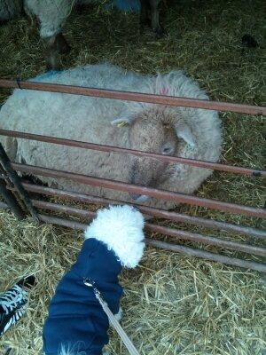 Pies spełnia owiec