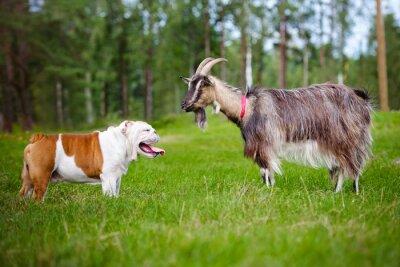 pies spotyka kozę