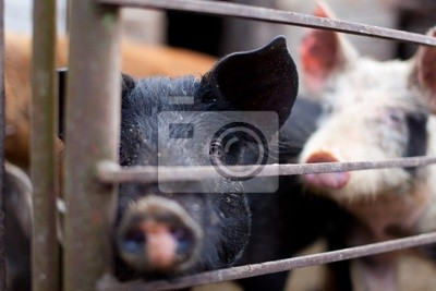 Pig Baby w chlewie