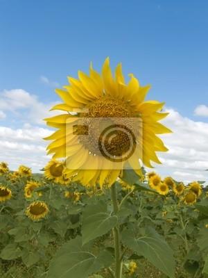 Pola kwiat słonecznika
