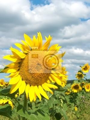 Pole, kwiat słonecznika