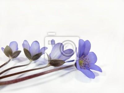 Pole kwiaty bzu
