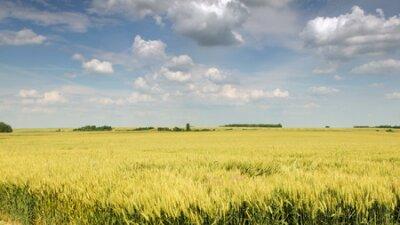 Pole pszenicy z ładne błękitne niebo