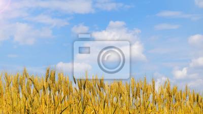 Pole pszenicy z Nicei błękitne niebo