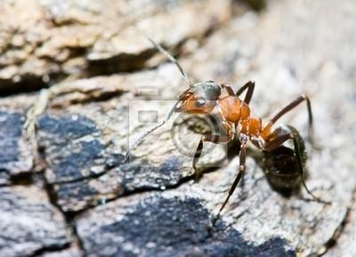 Red black ant