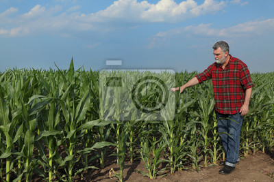 Rolnik lub agronomista badanie jakości pola kukurydzy roślin z tabletką w ręku