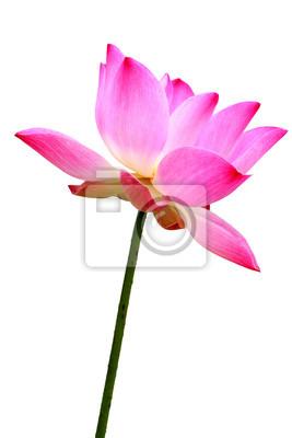 Tapeta Różowy kwiat lilii wodnej (Lotos) i bieli