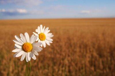 Rumianek na polu kukurydzy z Nicei błękitne niebo