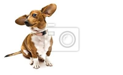 Słodki Jamnik (teckel) pies siedzi na białym tle