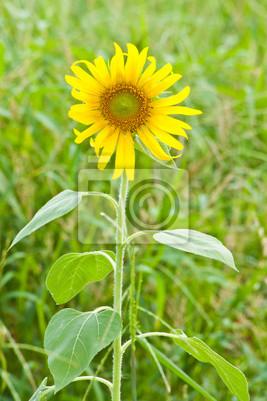 Słonecznik wyróżniać się z zielonych traw