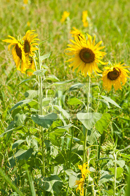Słoneczniki z zielonych traw w tle