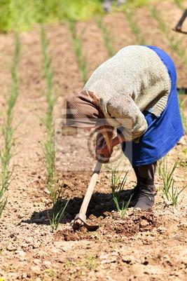 Tapeta Stare wiejskie pielenie kobieta przez pola cebuli