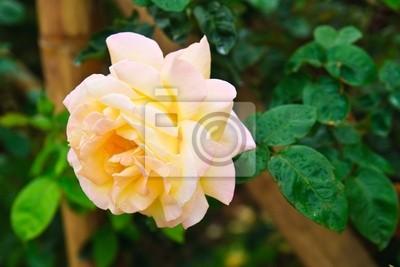Sunflair cream rose