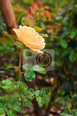 Sunflare róża