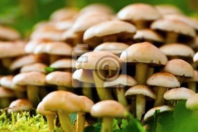 Surowe pieczarkowy miodu grzyby jadalne