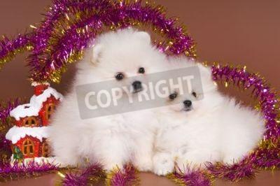Szczenięta z Spitz-dog spełnia Nowy Rok