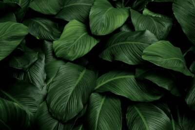 Tapeta Tropical green leaves on dark background, nature summer forest plant concept