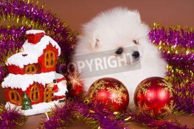 W szczeniaka z Spitz-dog spełnia Nowy Rok