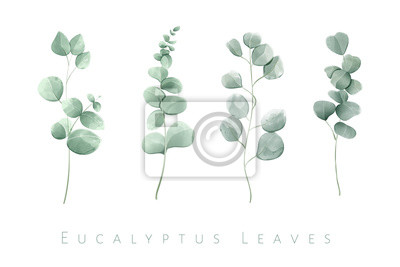 Tapeta Watercolor isolated eucalyptus leaves in set of 4 branches.