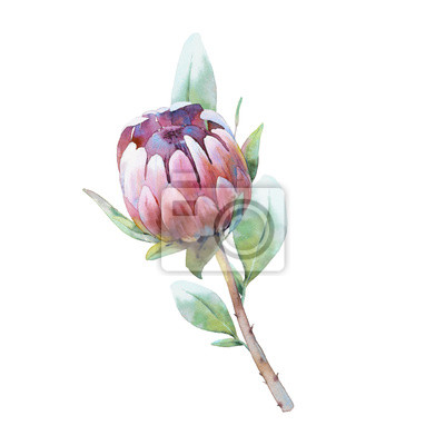 Tapeta Watercolor Protea branch. Hand drawn botanical illustration of exotic flower. Natural element close up isolated on white background