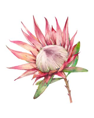 Tapeta Watercolor protea flower. Hand painted exotic plant isolated on white background. Botanical illustration of summer flora