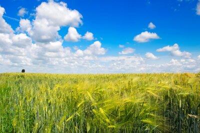 Wheat field with nice blue cloudy sky