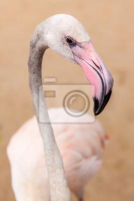 White flamingo dziób różowy