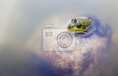Tapeta żaba