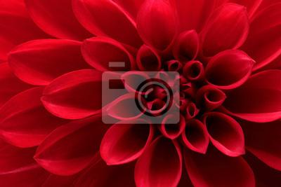 Tapeta Zbliżenie na czerwony kwiat dalia