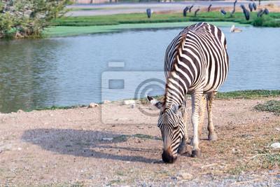 Zebra jedzenia trawy obok wody