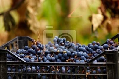Zebranych winogron w przypadkach
