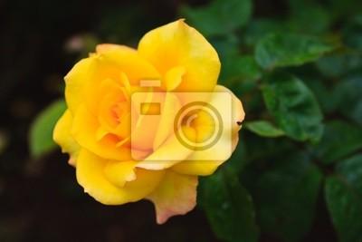 Żółty Sunflair róża
