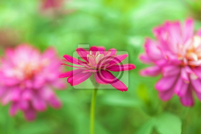 Tapeta Żywy kwiat magenta w ogrodzie